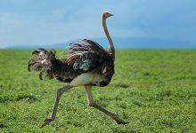 Photo of شتر مرغ تنها حیوانی که دو کشکک زانو دارد