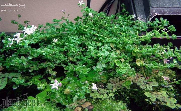 گیاه آکواریومی باکوپا