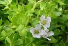 Photo of گیاه آکواریومی باکوپا