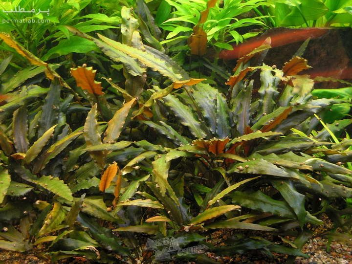 گیاه آکواریومی کریپتوکوراین وِندتی