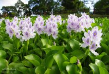 Photo of گیاه و گل سنبل آبی
