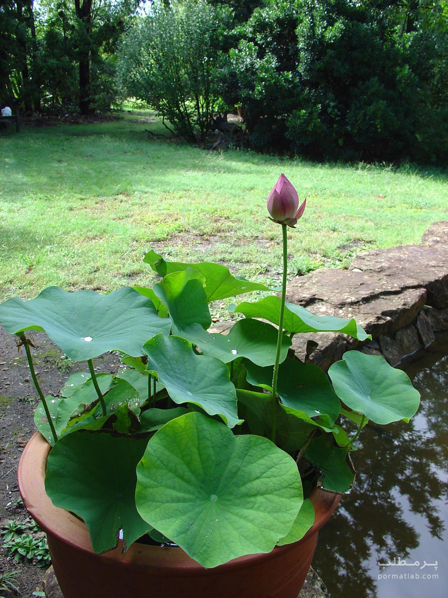 گل لاله مردابی