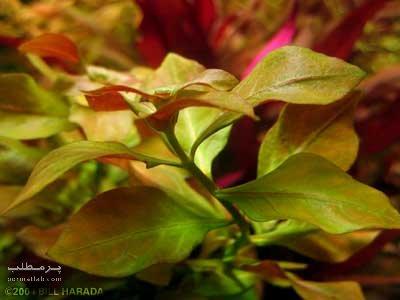 گیاه پشت قرمزی