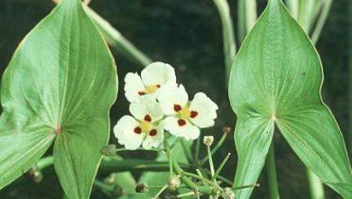 Photo of گیاه زاگیتاریا مونتویدنسیس