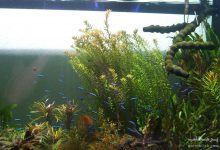 Photo of گیاه روتالا ایندیکا