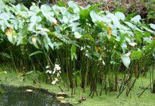 Photo of گیاه آبزی ساژیتریا لاتیفولیا