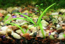 Photo of گیاه آکواریومی ساژیتریا پا کوتاه