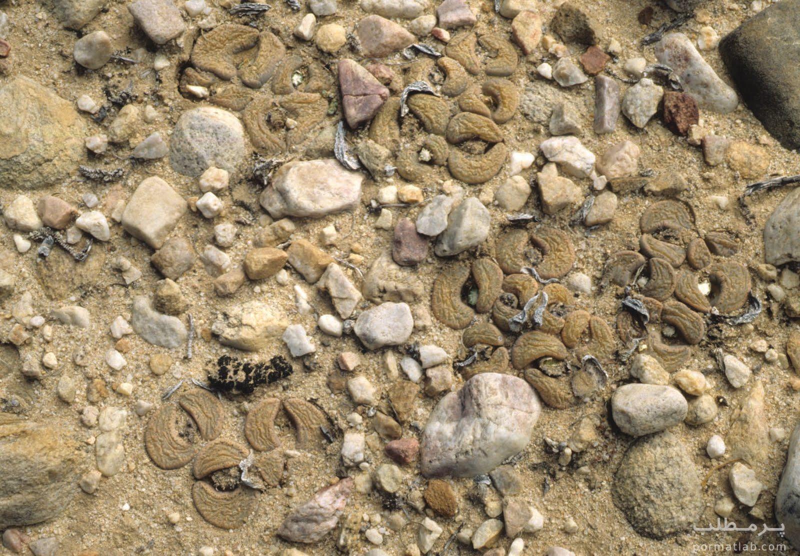 کاکتوس صخره ای