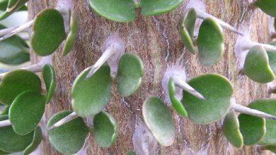 Photo of کاکتوس درختی آلودیا آسندنس