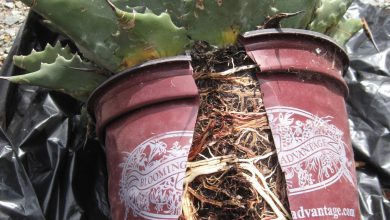 Photo of تعویض گلدان تنگ شده کاکتوس