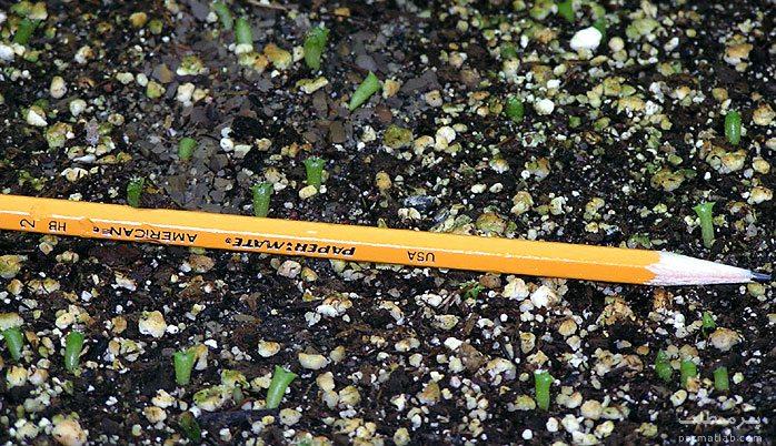 کاشت بذر کاکتوس