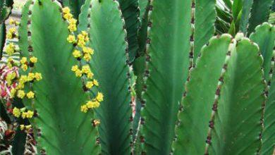 Photo of کاکتوس افوربیا اینگنس