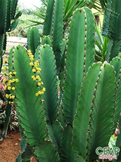 کاکتوس افوربیا اینگنس
