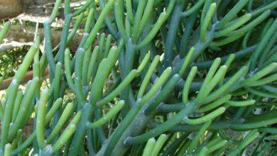 Photo of گیاه افوربیا تیروکالی