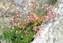 Photo of گیاه اونیوم دکوریوم