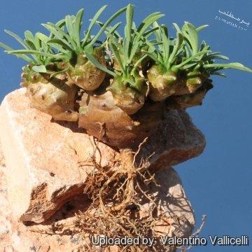 کاکتوس آناناسی