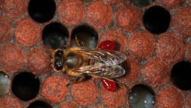 Photo of تولید آنتی بیوتیک از زنبور عسل