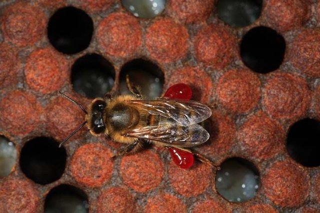 تولید آنتی بیوتیک از زنبور عسل