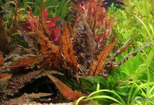 Photo of گیاه آکواریومی کریپتوکوراین وِندتی