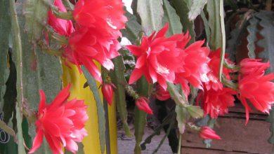 Photo of گل کاکتوس