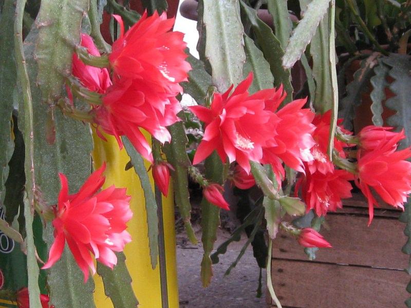 گل ارکید کاکتوس