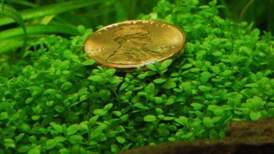 Photo of گیاه آکواریومی همیانتوس کوبایی