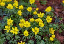Photo of گیاه آرانتیس