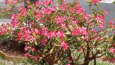 Photo of گیاه آدنیوم معروف به رز صحرایی