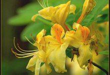 Photo of گیاه آزالیای ساحلی