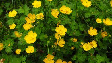 Photo of گیاه آلاله رونده