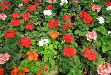 Photo of درباره گل شمعدانی بیشتر بدانید