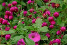 Photo of آشنایی با گل تکمه ای