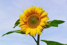 Photo of گل آفتاب گردان زینتی را بیشتر بشناسیم