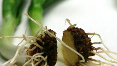 Photo of کاشت پیاز در گلدان + عکس