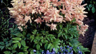 Photo of گیاه آستیلب