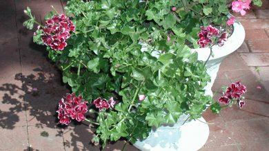 Photo of گیاه شمعدانی پیچ