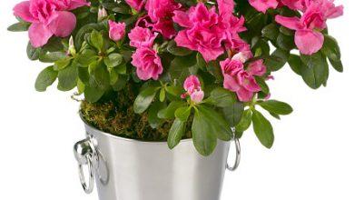 Photo of گیاه آزالیا