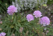 Photo of گیاه و گل آرمریا