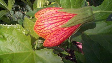 Photo of گیاه ابوتیلون گل گاوپنبهای