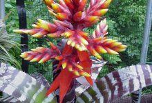 Photo of گیاه ایکیما چانتینی