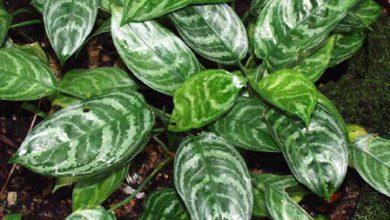 Photo of گیاه آگلونما