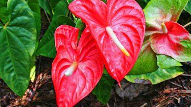 Photo of گیاه آنتوریوم