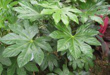Photo of گیاه آرالیای برگ پهن