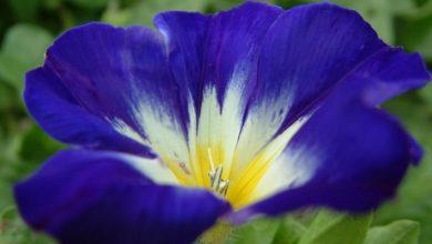 Photo of گل پیچک سه رنگ
