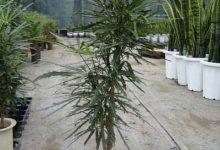 Photo of گیاه آرالیای دروغی