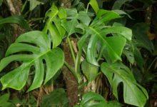 Photo of گیاه برگ انجیری