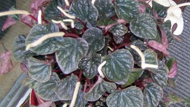 Photo of گیاه پپرومیا کاپراتا