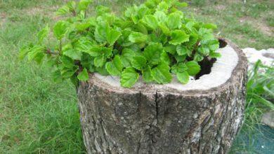 Photo of گیاه پیچک سوئدی