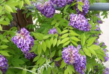 Photo of گیاه پیچ گلیسین آمریکایی
