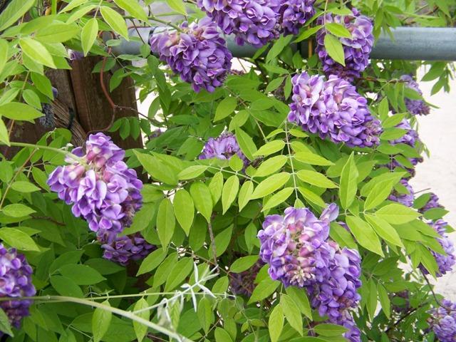 گیاه پیچ گلیسین آمریکایی